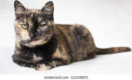 Senior female tortoiseshell cat lying down and staring judgingly at camera. Isolated cat in white background.