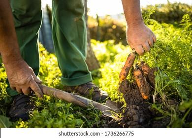 Hoher Gärtnergarten in seinem Permakultur-Garten - Karotten ernten