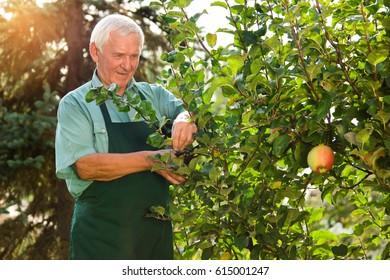 Senior gardener with scissors. Elderly man working outdoors.