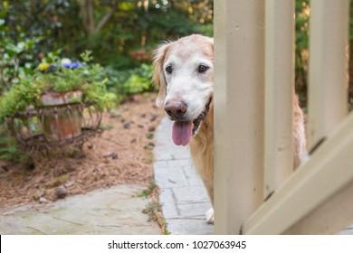 Senior Golden Retriever Dog enjoys the backyard at home