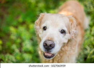 Senior Golden Retriever Dog smiles while walking through ivy in the backyard