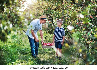 Senior grandfather with grandson carrying wooden box with apples in orchard.