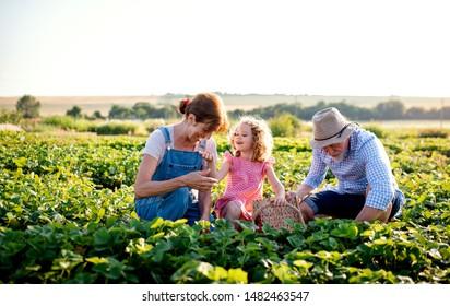 Senior grandparents and granddaughter picking strawberries on the farm.