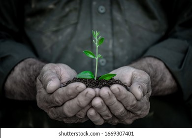Senior holding young olive tree in hands. Old man with green sprout in handful. Earth day spring holiday concept