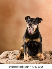 Senior Jagdterrier portrait