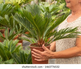 Senior lady, romantic dress, holds in the hands a beautiful little palm tree. Many plants in the garden. Green color. Caucasian people and her hobby