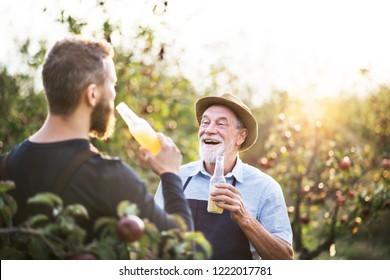 A senior man with adult son holding bottles with cider in apple orchard in autumn.
