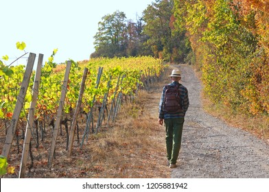 senior man with a backpack and a sunhat hiking through vineyards in autumn