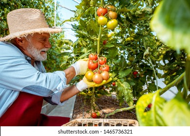 Senior man collecting tomato harvest in the hothouse of a small agricultural farm. Concept of a small agribusiness and work at retirement age