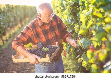 Senior man examining the grapes in the vineyard.