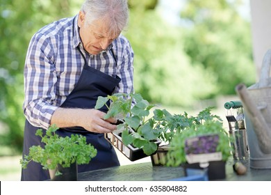 Senior man in garden looking at young plants