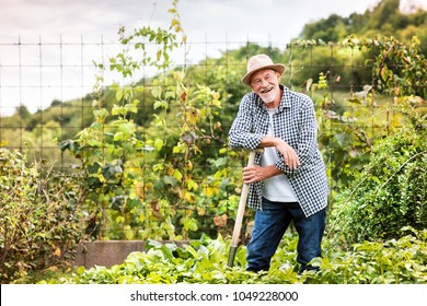 Senior man gardening in the backyard garden.