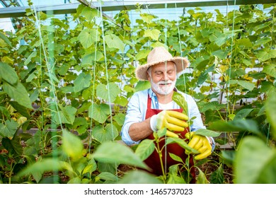 Senior man growing cucumbers, tying the branches up in the hothouse on a small agricultural farm. Concept of a small agribusiness and work at retirement age