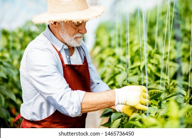 Senior man growing sweet peppers, tying the branches up in the hothouse on a small agricultural farm. Concept of a small agribusiness and work at retirement age
