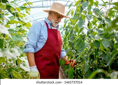 Senior man growing sweet peppers in a well-equipped hothouse on a small agricultural farm. Concept of a small agribusiness and work at retirement age