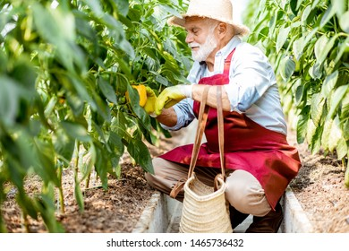 Senior man harvesting sweet peppers in the hothouse of a small agricultural farm. Concept of a small agribusiness and work at retirement age