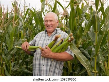 Senior man on  field corn with corn ears