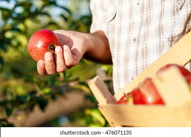 Senior man picking apples in his orchard. He examining the apple production while holding crate with apples.