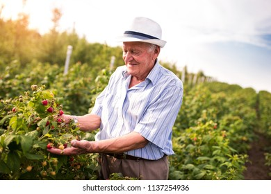 Senior man picking blackberries in an orchard