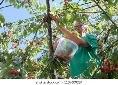 Senior man is picking cherries in tree
