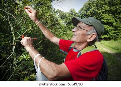 Senior man picking up wild rose hip