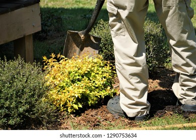 A senior man planting the new shrub with shovel in his own garden, Spring in Georgia USA.