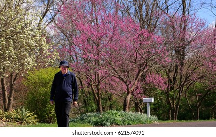 Senior man walking down the street on a nice spring day; redbud trees in the background; Missouri, Midwest