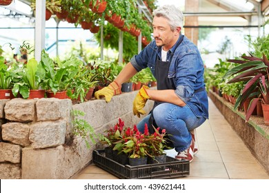 Senior man working as gardener in a nursery shop