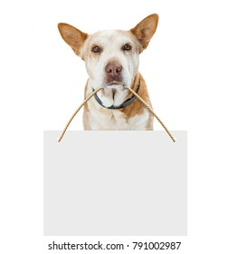 Senior old hound mixed breed dog looking at camera over white, carrying blank sign with room for text in his mouth.