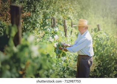 Senior old man harvesting grapes and maintaining his vineyard