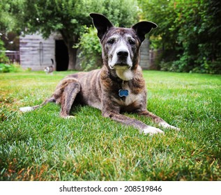 a senior pit bull laying in the grass of a green lawn in a backyard