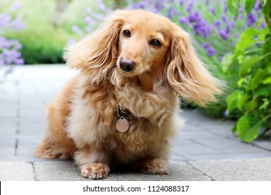 A senior purebred longhair English cream colored dachshund dog, outside in the garden.