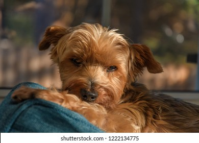 Senior rescue yorkshire terrier mix dog