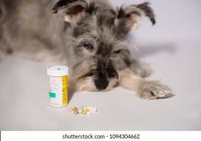 senior schnauzer dog isolated on white with medications, pills and topicals. Concept: ageing pets and healthcare
