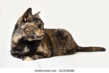 Senior tortoiseshell cat lying down and looking attentively to the right. Isolated cat in white background.