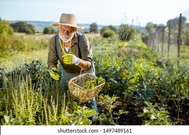 Senior well-dressed man collecting herbs on an organic garden during the sunset outdoors. Concept of growing organic products and active retirement