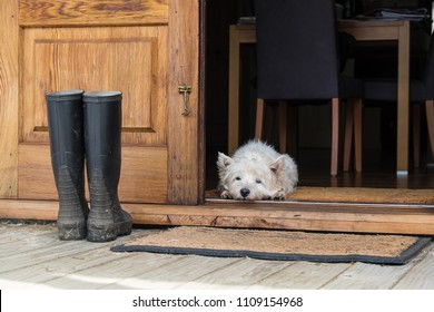 Senior west highland white terrier westie dog lying on mat looking out of open farmhouse door - photographed in New Zealand, NZ