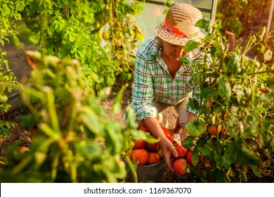 Senior woman farmer gathering crop of tomatoes at greenhouse on farm. Farming, gardening concept