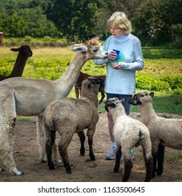 Senior woman feeding sheep and a llama on a farm