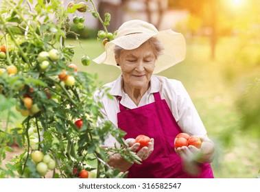 c706d18e42476 Senior woman in her garden harvesting tomatoes