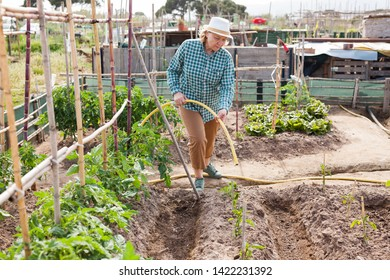 Senior woman horticulturist is  watering  tomatoes  bushes in  garden outdoor