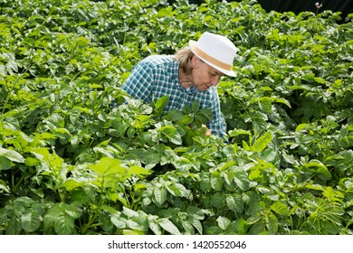 Senior woman horticulturist working with tomatoes  bushes in  garden outdoor