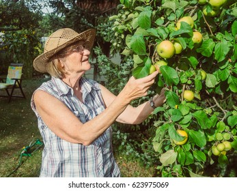 Senior woman is looking at her apples in her summer garden