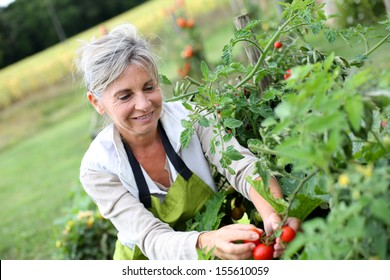 Senior woman picking tomatoes from vegetable garden