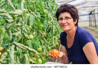 Senior woman picking tomatoes from vegetable garden in greenhous