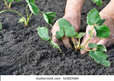 senior woman planting a strawberry seedling in the garden