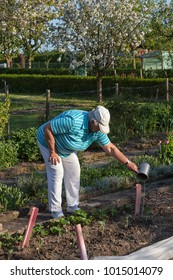 senior woman is watering vegetables in the garden plot