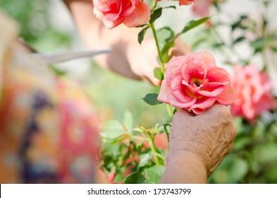 Senior woman's hand with garden roses