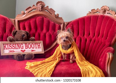 Senior Yorkshire Terrier Dog Waiting for His Kisses on a Vintage Victorian Settee