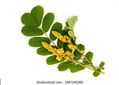 Senna alata, green leaves and flower medicinal properties.